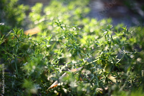 Close up Green Parsley