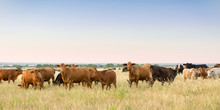 Cow And Calf Pairs Grazing On Pasture Land Before Weaning