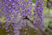 Purple Japanese Wisteria Flowe...