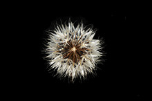 Silver Puff (Uropappus Lindley...