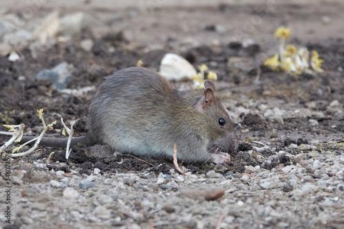 Photo Brown rat (Rattus norvegicus)