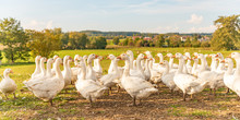Many White Fattening Geese On ...