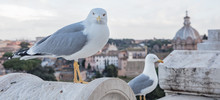 Seagull Sitting In Rome Italy