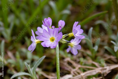 Fototapeta Purple primrose flower Caucasian lat