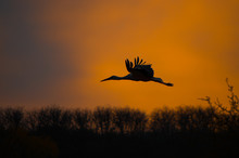 Silhouette Of A Stork Flying I...