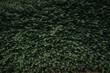 Hecke,Buchsbaum Hintergrund, flächig grün