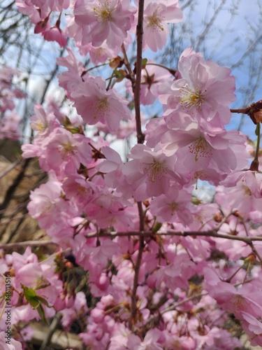 Photo Prunus Accolade - spring blossom