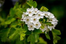 White Flowers On A Hawthorn Bu...