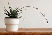 Flowering Cactus Succulent In ...
