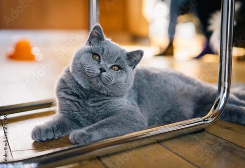 Fényképezés Boo the British Blue Shorthair Kitten Playing in the House