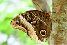 Butterfly On Leaf, In Arenal V...
