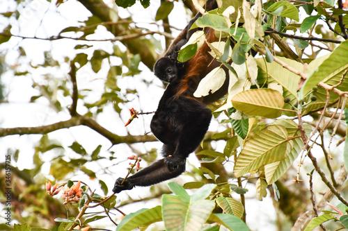 capuchin monkey primate , in Arenal Volcano area costa rica central america Billede på lærred