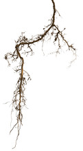 Plant Root Isolated On White B...