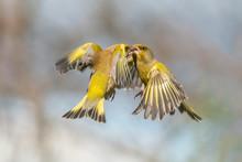 Battle Between Two Flying European Greenfinch (Chloris Chloris). Angry Birds.