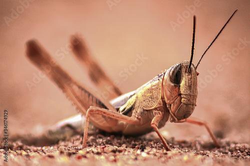 Cuadros en Lienzo Brown Locust