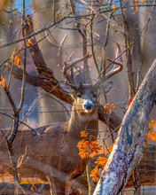 White-tailed Deer Buck With Large Antlers Stands Behind A Fence And Trees With Orange Oak Leaves.