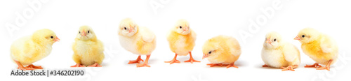 Fotografering Little yellow chicks isolated on white background