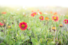 Indian Blanket Flowers, A Comm...