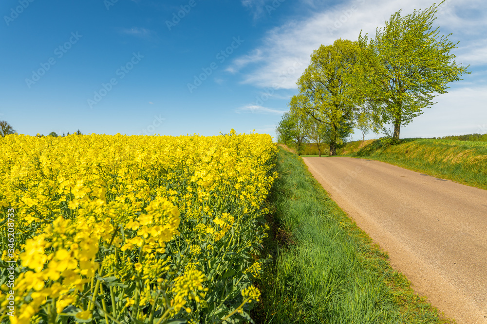 Fototapeta Żółte pola rzepaku, błękitne niebo i wiosenne drzewa