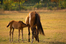 Mare And Foal Together In Meadow. Nature Background. Soft Focus