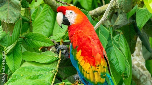 Red parrot Scarlet Macaw, Ara Macaw in the jungle of Peru, large beautiful color Fototapet