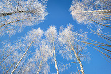 Low Angle View Of Birch Trees ...