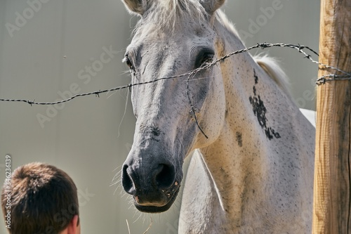 Fototapety, obrazy: Closeup selective focus shot of a beautiful horse and a small  boy