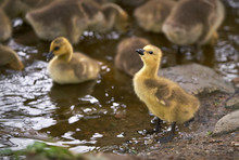 Goslings On Pond Shore. Canada...