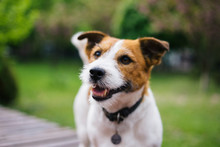 Jack Russell Terrier Walking I...