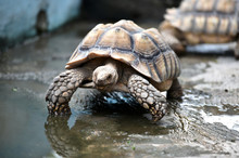 Sulcata Tortoises Come From Africa, Body Length 60-100 Cm With A Back Shell Or Scales On The Carapace, Textured Like A Pyramid Triangle, Dominated By A Yellowish Brown Color