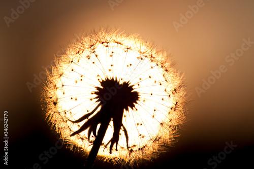 Słońce zachodzące za horyzont oświetla z tyłu dmuchawiec. - 346242770
