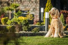 Obedient Goldendoodle Dog Sitt...