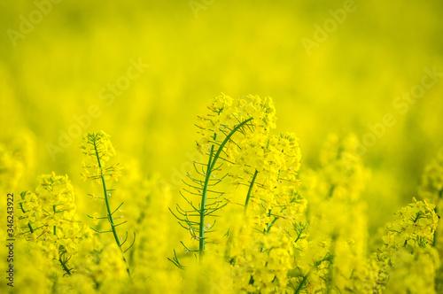 Obraz Zbliżenie kwitnącego żółtego rzepaku - fototapety do salonu