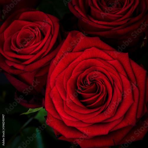 Obraz Zbliżenie pięknego czerwonego kwiatu róży - fototapety do salonu