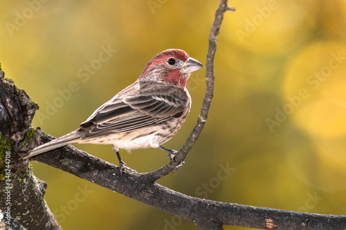 Fotografia House Finch Perched on an Autumn Branch