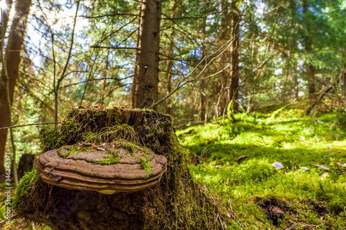 A stump with the huge polypore. Fototapet