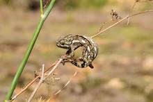 Mediterranean Chameleon Gripping On Wild Fennel.