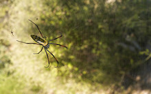Red Legged Golden Orb Weaver S...
