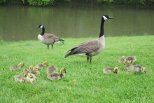 Watchful Parents (Two Adult Canadian Geese With Goslings)