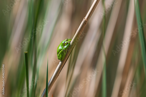 Photo Hyla arborea - Green Tree Frog on a branch and on a reed by a pond