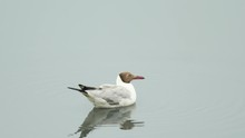 A Brown Headed Gull Rests On T...