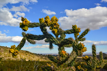 Cacti Tree Cholla (Cylindropun...