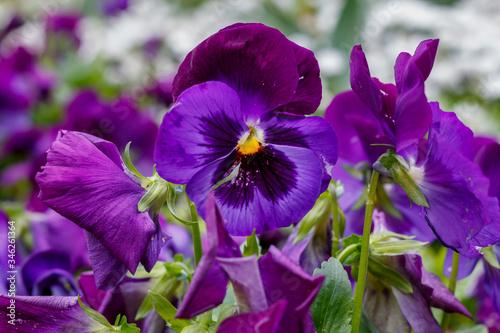 Violet in Spring Blossom Close Up