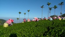 Taiwanese Women At Work Collecting Green Tea Leaves On Lush Hill