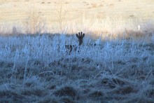 Deer And Morning Dew In The Su...
