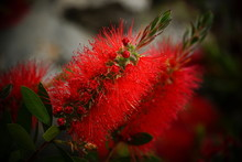 Beautiful Red Flower Of Callis...