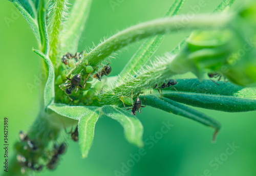 Ants taking care of greenfly that feed on a plant Canvas Print