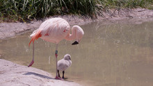 Mother And Chick Flamingo Standing On One Leg At The Edge Of A Pond.