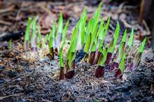 Spring Hosta Shoots In A Garden