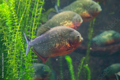 Fotografia, Obraz piranha